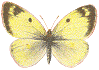 Colias_hyale
